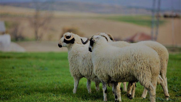 Hayvan Destek Kredisi, Büyükbaş Hayvancılık Hibe Desteği
